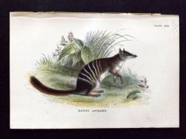 Lloyd 1890's Antique Print. Banded Anteater, Australia Native